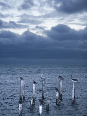 Pelicans, Caye Caulker, Belize by Russell Young