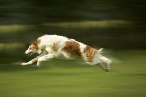 Russian Wolfhound Running