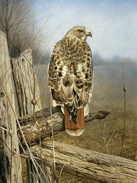 Red Tailed Hawk by Rusty Frentner