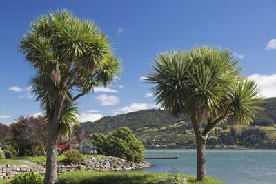 Cabbage trees (Cordyline australis) growing beside Otago Harbour, Macandrew Bay, near Dunedin, Otag