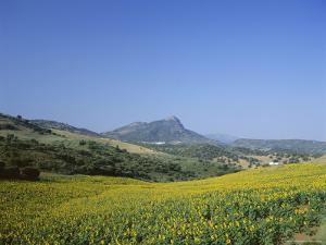 Fields of Sunflowers, Near Ronda, Andalucia (Andalusia), Spain, Europe by Ruth Tomlinson