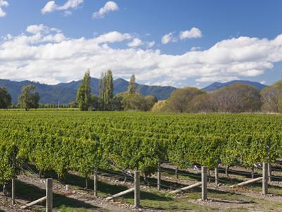 Orderly rows of vines in a typical Wairau Valley vineyard, Renwick, near Blenheim, Marlborough, Sou