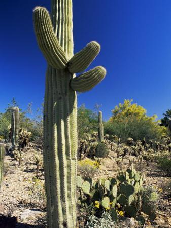 Saguaro Cacti, Arizona-Sonora Desert Museum, Tucson, Arizona, United States of America (U.S.A.) by Ruth Tomlinson