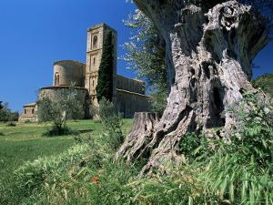 Trunk of Ancient Olive Tree with the Abbey of Sant'Antimo Beyond, Near Montalcino, Tuscany, Italy by Ruth Tomlinson