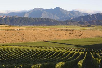 View over typical vineyard in the Wairau Valley, early morning, Renwick, near Blenheim, Marlborough