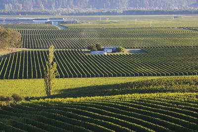 View over typical vineyards in the Wairau Valley, early morning, Renwick, near Blenheim, Marlboroug