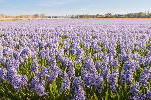 Field with Lilac Blooming Hyacinth Bulbs in the Netherlands by Ruud Morijn