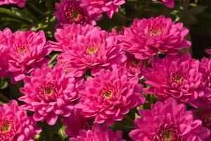 Pink Colored Chrysanthemums in A Flower Nursery by Ruud Morijn