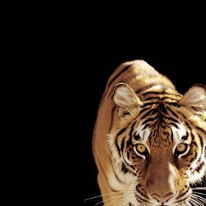 Tiger (Panthera Tigris) by Ryan Mcvay