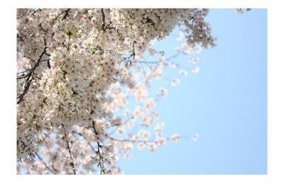 Japanese Cherry Blossom, Sakura III