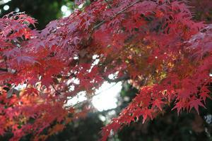 The Autumnal Leaves Which Shine Crimson by Ryuji Adachi