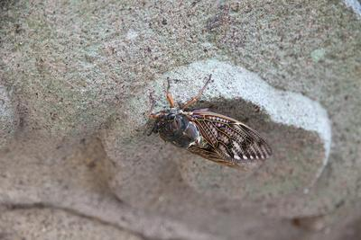 The Short Cicada of the Life Is Enjoying the End of Summer also in the Insect