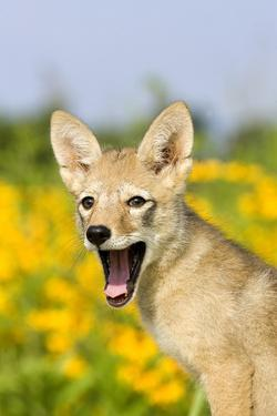 Coyote (Canis latrans) two-month old pup, yawning, close-up of head, USA by S & D & K Maslowski