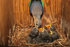Eastern Bluebird (Sialia sialis) adult female feeding young in nestbox, Ohio, USA by S & D & K Maslowski