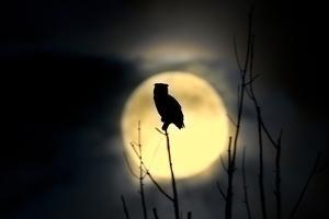 Great Horned Owl (Bubo virginianus) adult, backlit against moon at night, USA by S & D & K Maslowski
