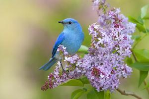 Mountain Bluebird (Sialia currucoides) adult male, perched on flowering lilac, USA by S & D & K Maslowski