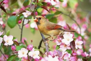 Northern Cardinal (Cardinalis cardinalis) adult female perched on branch amongst wild plum blossom by S & D & K Maslowski