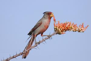 Pyrrhuloxia (Cardinalis sinuatus) adult male, feeding on ocotillo flowers, USA by S & D & K Maslowski