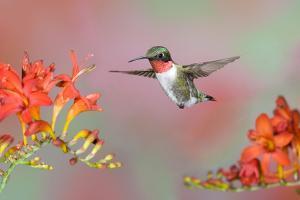Ruby-throated Hummingbird (Archilochus colubris) adult male, in flight by S & D & K Maslowski