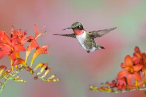 Ruby-throated Hummingbird (Archilochus colubris) adult male, in flight by S & D & K Maslowski