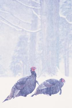 Wild Turkey (Meleagris gallopavo) two gobblers in snow storm, Ohio, USA by S & D & K Maslowski