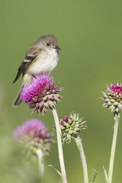 Willow Flycatcher (Empidonax traillii) adult, perched on thistle, USA by S & D & K Maslowski