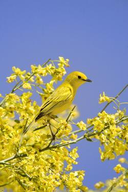 Yellow Warbler (Dendroica petechia) adult male, perched in flowering palo verde, USA by S & D & K Maslowski