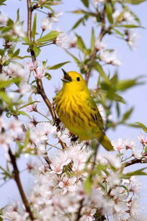 Yellow Warbler (Dendroica petechia) adult male, singing, perched in flowering cherry, USA