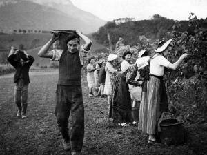 Grape Harvest in the Haut-Grésivaudan in Southern France, 1943 by S?ddeutsche Zeitung Photo
