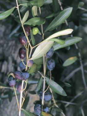 Close-Up of Leaves of an Olive Tree (Olea Europaea) with Fruits, Diano Marina, Liguria, Italy by S. Montanari