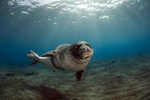 Male Monk Seal (Monachus Monachus) Portrait, Deserta Grande, Desertas Islands, Madeira, Portugal by Sá