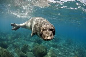 Mediterranean Monk Seal (Monachus Monachus) Large Male. Areias, Deserta Grande, Madeira, Portugal by Sá