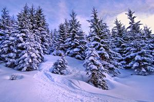 Snow Covered Conifers, Austria, Europe by Sabine Jacobs