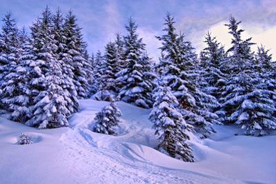 Snow Covered Conifers, Austria, Europe