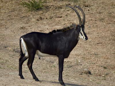 https://imgc.allpostersimages.com/img/posters/sable-antelope-hippotragus-niger-male-kruger-national-park-south-africa-africa_u-L-PWFRXU0.jpg?p=0