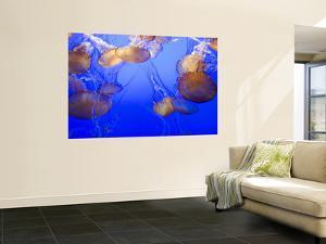 Black Sea Nettle Jellyfish at Monterey Bay Aquarium by Sabrina Dalbesio