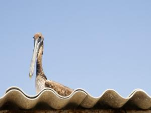 Pelican on Roof. by Sabrina Dalbesio