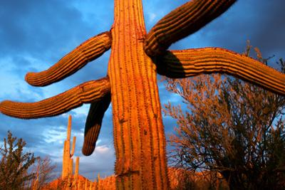 Saguaro cactus at Saguaro National Park, Tucson, Arizona, USA