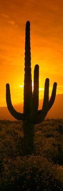 Saguaro Cactus (Carnegiea Gigantea) in a Desert at Sunrise, Arizona, USA
