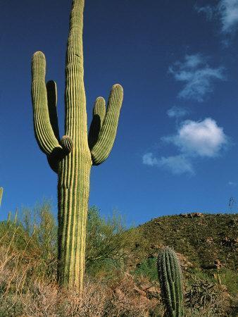 https://imgc.allpostersimages.com/img/posters/saguaro-cactus-in-sonoran-desert-saguaro-national-park-arizona-usa_u-L-P42KKZ0.jpg?p=0