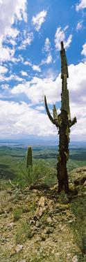 Saguaro Cactus on a Hillside, Tucson Mountain Park, Tucson, Arizona, USA