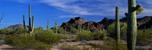 Saguaro Cactus Sonoran Desert Scene Saguaro National Park Arizona USA