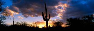 Saguaro Cactus, Sunset, Tucson