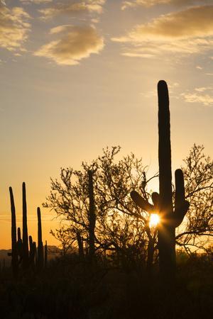 https://imgc.allpostersimages.com/img/posters/saguaro-forest-at-sunset-saguaro-national-park-arizona-usa_u-L-PN6OZL0.jpg?p=0