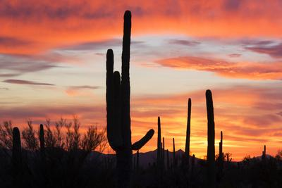 https://imgc.allpostersimages.com/img/posters/saguaro-forest-at-sunset-saguaro-national-park-arizona-usa_u-L-PXR7ER0.jpg?p=0