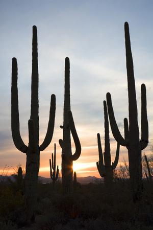 https://imgc.allpostersimages.com/img/posters/saguaro-forest-at-sunset-tucson-arizona-usa_u-L-PN6Y880.jpg?p=0