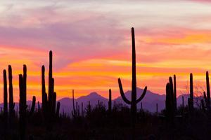 Saguaro Forest, Sonoran Desert, Saguaro National Park, Arizona, USA