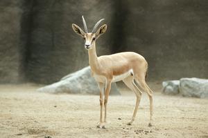 Saharan Dorcas Gazelle Female