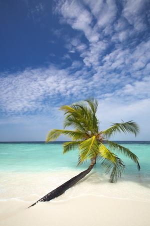 Palm Tree on Tropical Beach, Maldives, Indian Ocean, Asia