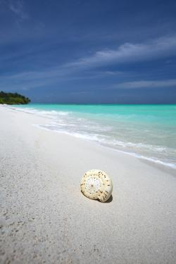Shell on Tropical Beach, Maldives, Indian Ocean, Asia by Sakis Papadopoulos